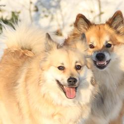IJslandse honden HKH Freyja II en Miss Bera