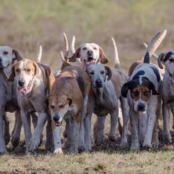 De jachthonden