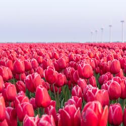 Tulips Flevopolder