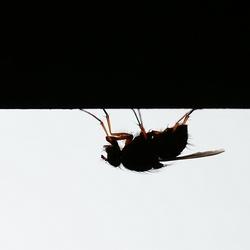 Huisvlieg in zwart-wit