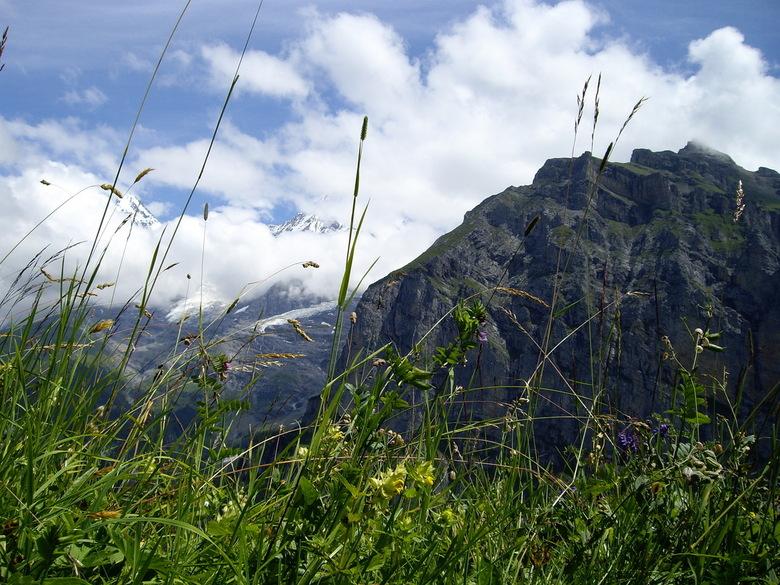 Eiger Mönch Jungfrau in wolken - Zwitserland, Eiger Mönch Jungfrau in de wolken met bermbegroeiing op voorgrond, vanaf Mürren.