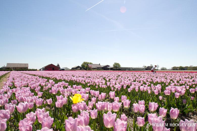 Bollenvelden - De eenzame bloem tussen de rest.