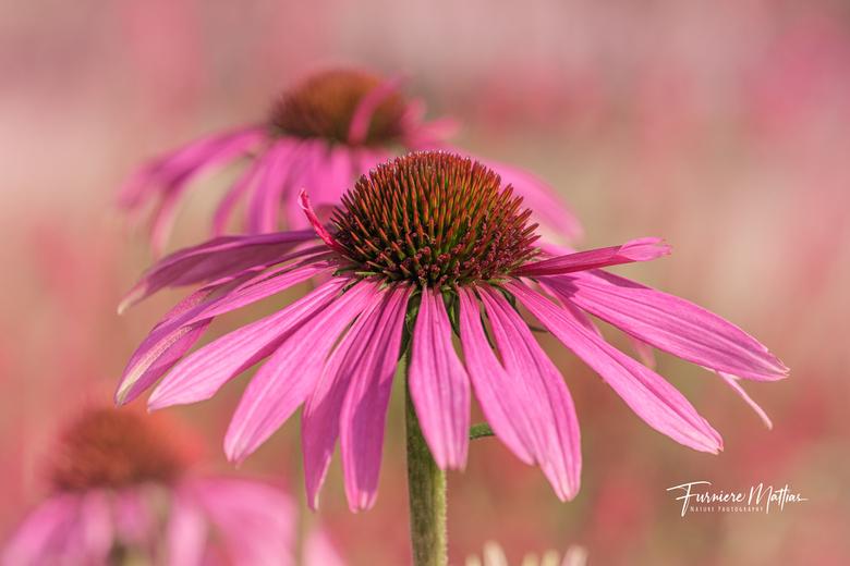 Rode Zonnehoed  - Dat de herfst ook wel nog wat fleurig kan zijn, bewijst deze Rode Zonnehoed. Hij had afgelopen week dan ook maar een streepje zon no