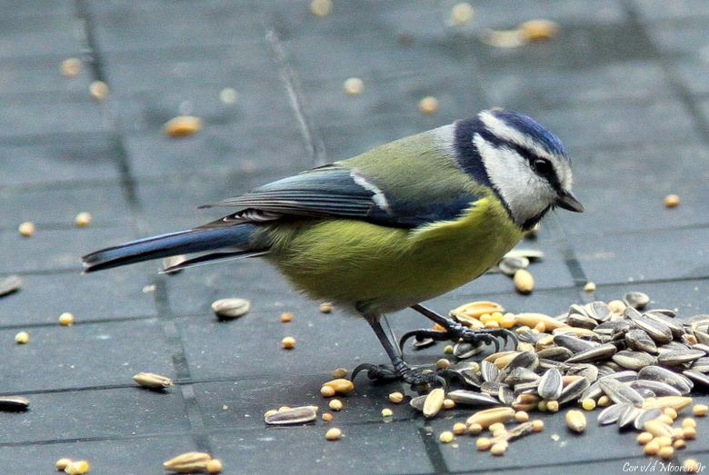 Pimpelmees - De pimpelmees is een veel geziende gast<br /> in de tuin en is dan op zoek naar insecten en kleine zaden.