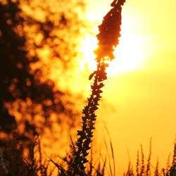 Bloem in zonsondergang