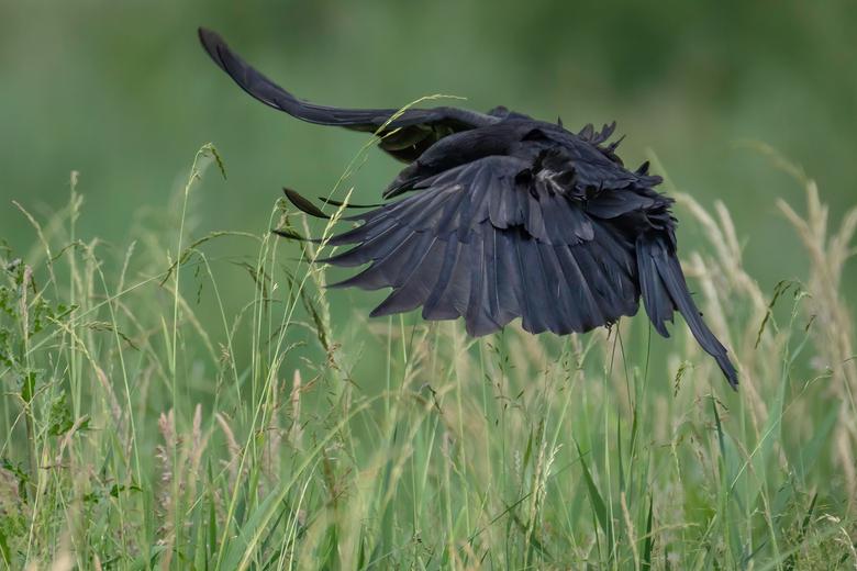 Zwarte Kraai  -