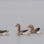 Vier zwemmende grauwe gansen