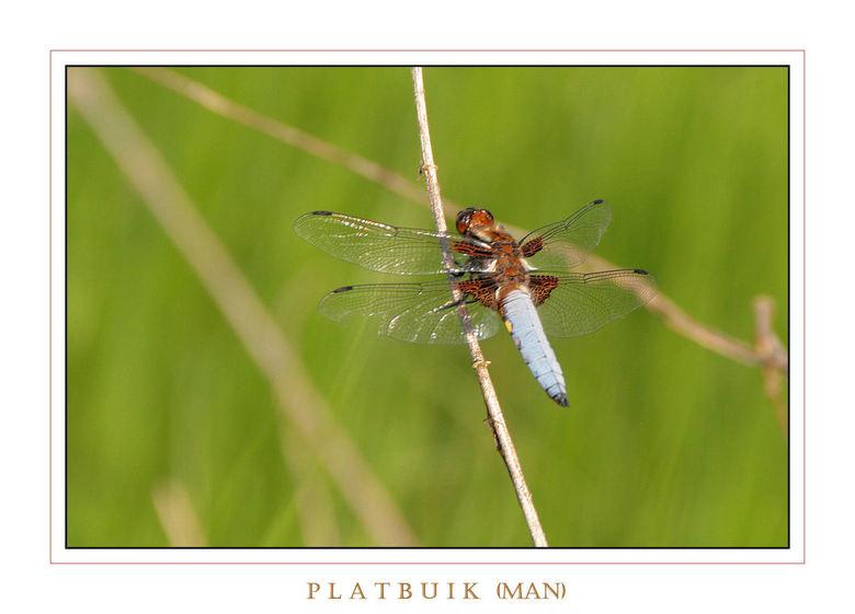 PLATBUIK   (man)