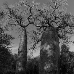 Baobab in Madagaskar.