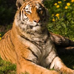 tijgertje in de morgenzon
