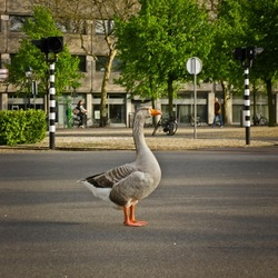 Goose waiting for the green light