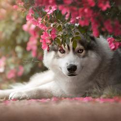 Husky tussen rozenbottel