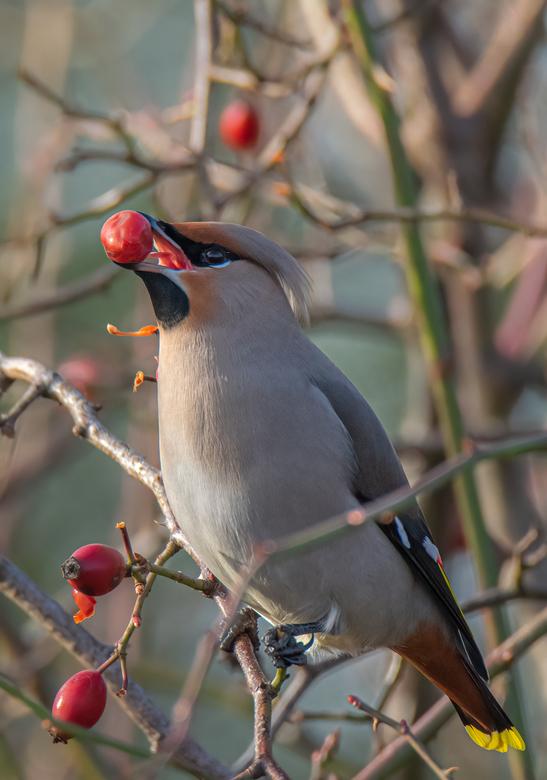 """Pestvogel - De """"enige"""" pestvogel dichtbij huis"""