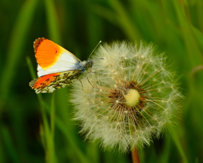 Image result for butterfly on a dandelion clock
