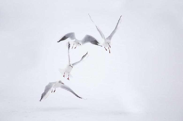 sneeuwmeeuw - tijdens de sneeuwbuien genomen zo mooi zijn meeuwen in het prachtige wit ..loop wat achter met reageren komt goed