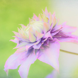 Clematis Texture Effects