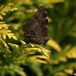 Trotse vlinder