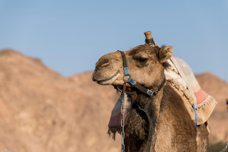 kameel in de woestijn - Het schip van de woestijn, de kameel in de woestijn van Israel op de grens van Egypte