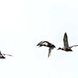 Ducks in the air.