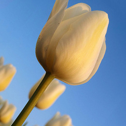 Tulpen in het voorjaarszonnetje