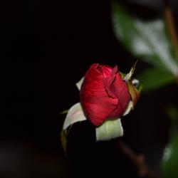 Baby roosje