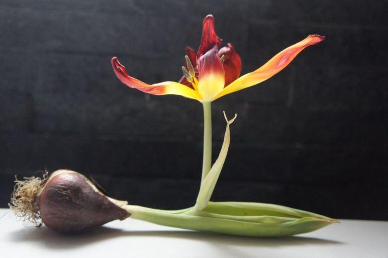 Gesprongen tulp