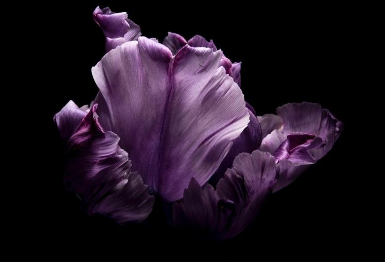 Tulipa lila - Tulp