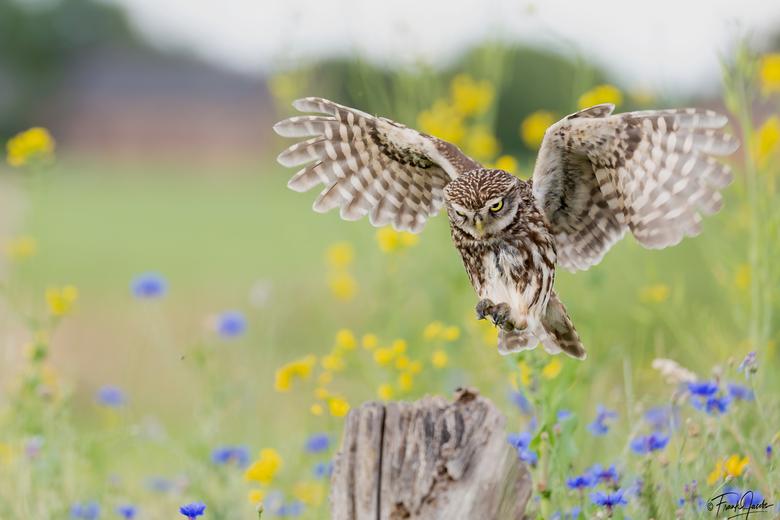 Landing - Steenuiltje landt tussen de mooie bloemen