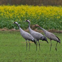 Kraanvogels3