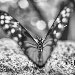 Butterfly with passie
