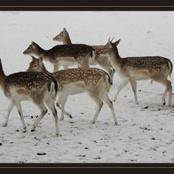 Herten in de winter.
