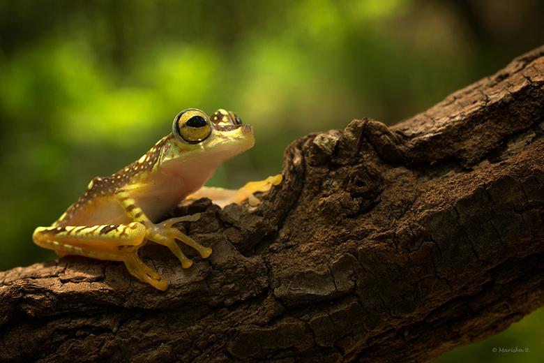 Yellow 2 - Hypsiboas picturatus, Imbabura tree frog<br /> <br />