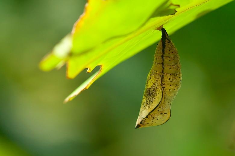 vlinderpop - Gezien in de vlindertuin van Artis.Ik alleen niet welke soort.