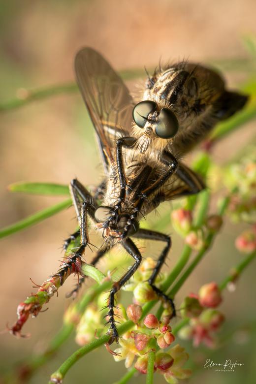 Insectenintimiteit - Uit mijn reeks &#039;Insexten&#039; <br /> Deze twee intieme vliegen geportreteerd. Ik ben heel tevreden met het (flits)licht en