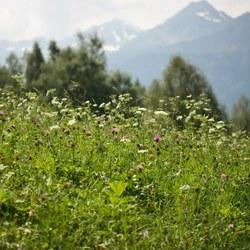 Alpenweide
