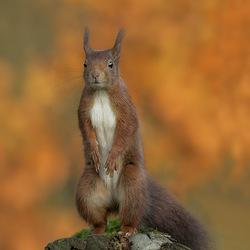 Lange eekhoorn
