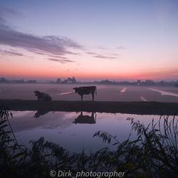 Cow in de kou