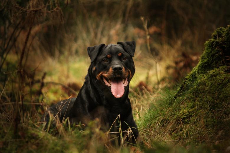 Rottweiler in het bos -