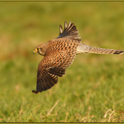 The flight of the Kestrel!