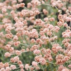 Santa Barbara botanicals