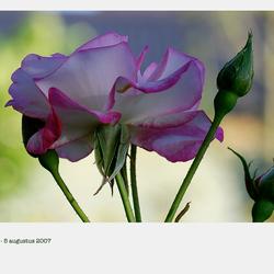 wild rose anders
