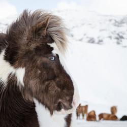 Icelandic Horse - Blue eyes