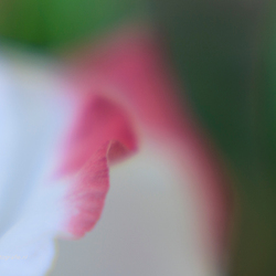 Composition in pink, white and green . . .