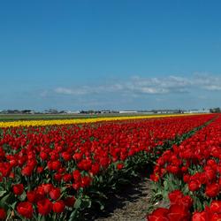 Tulipfarm