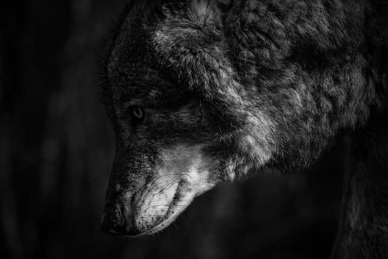 Searching Wolf -