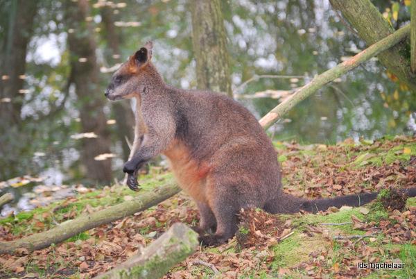 herfst tinten in mijn vacht - Genomen in Aqua Zoo Leeuwarden.<br /> Bij de kangaroe&#039;s
