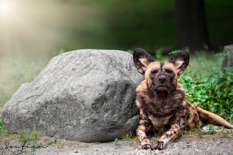 """Why So Serious? - Aangezien vele hyena&#039;s te herkennen zijn om hun lach.. is deze hyena niet echt in de stemming <img  src=""""/images/smileys/wilt.p"""
