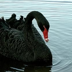 Zwarte zwaan.