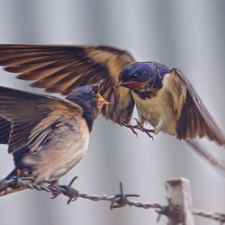 zwaluwtjes