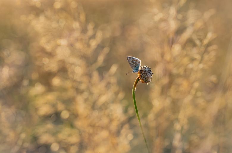 Save the last light for me.... - Even een recente foto geplaatst. Dit icarusblauwtje trof ik gisteravond nog aan, rustend en genietend van late avondz